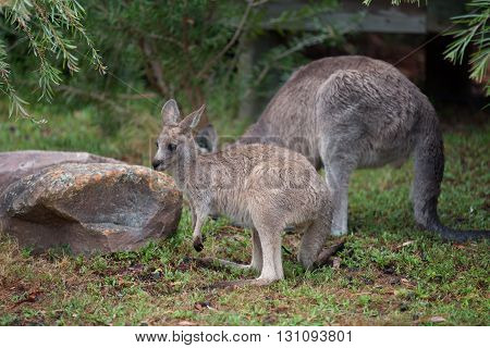 Young Kangaroo and mom on east coast of Australia.