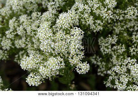 Flowers of whitetop or hoary cress Lepidium draba.