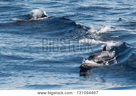 tursiop common dolphin jumping outside the water