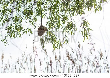 Penduline tit nest dangles over water. Remiz pendulinus.