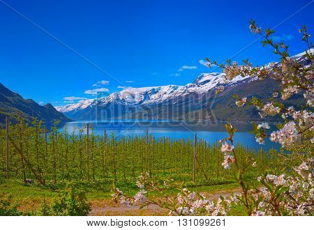 Blossoming season in Hardanger fjord in Norway