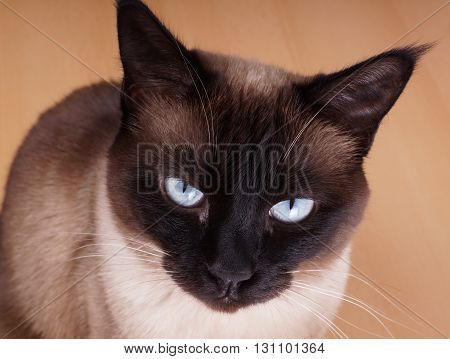 siamese cat portrait. purebred with blue eyes and seal point fur.