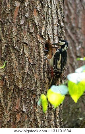 Woodpecker in the forest in the wild