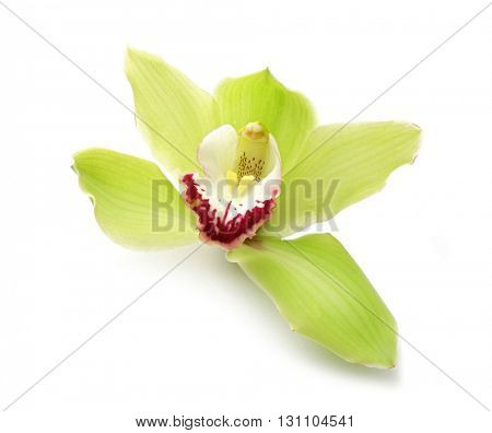 Beautiful green orchid on white background