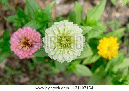Blooming Zinnia classic flowers in the garden