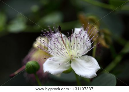 Flower of the caper bush Capparis spinos. The buds are used as seasoning.