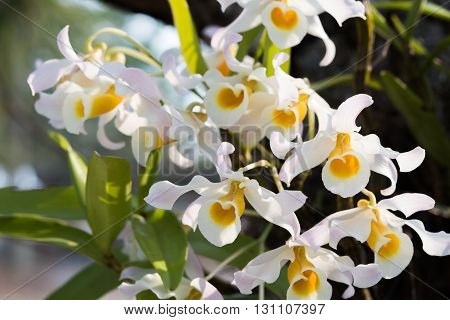 Plants bloom from winter to summer with two 7.6 cm wide flowers. Flowers are fragrant.