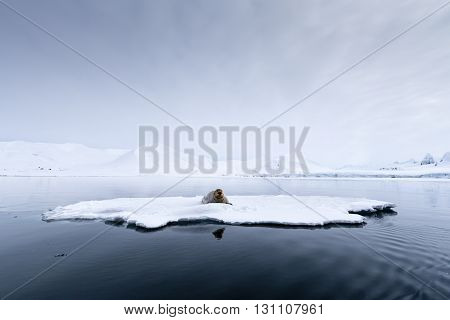 Seal having a rest on an iceberg, Svalbard, Arctic