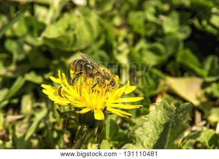 Bee collects pollen on flower of the dandelion