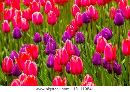 field of tulips. Flowers tulips.Red and white tulips.Background colors of red and white tulips.Landscape design of flowers.Floristry of flowers of red and white tulips.Tulips