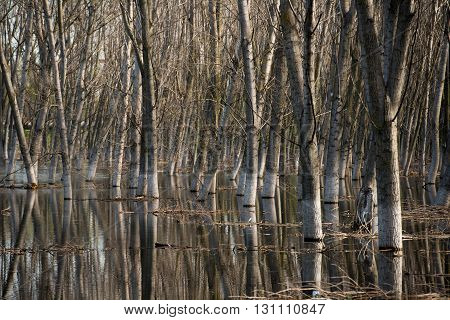 Tree trunks in water with side light on springtime.