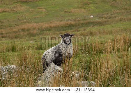 A badger face lamb standing among rocks reeds and grass.