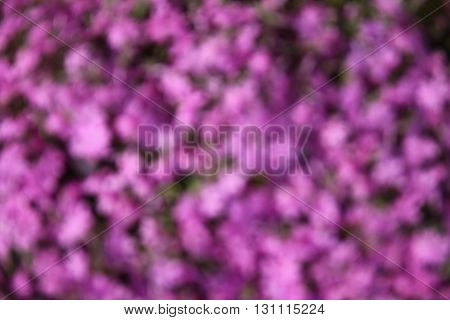 a background very nice beautiful purple flowers