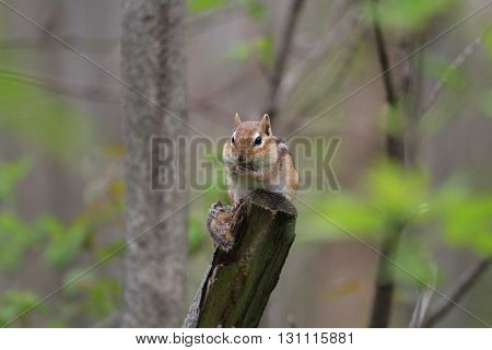 Chipmunk standing at end of dead tree in early morning