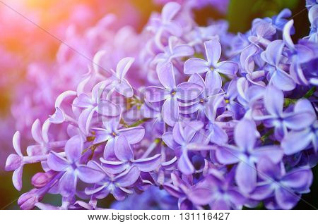 Pink lilac flowers in bloom closeup view - floral background with soft sunlight. Soft focus and pastel processing