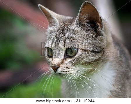 Portrait of a gorgeous cat with big yellow eyes. Cat gray cat face large