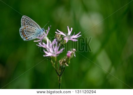 Bluebird-butterfly on a flower - blurred background