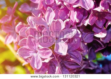 Blooming spring bright pink lilac flowers under sunlight. Selective focus at the central flowers soft focus processing
