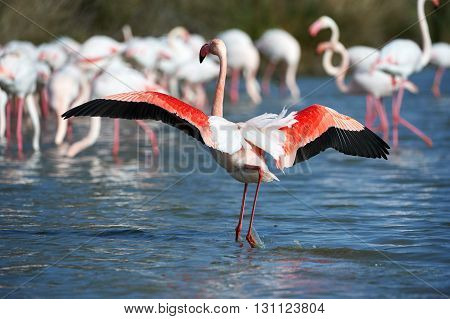 Greater flamingos group photographed in Camargue in spring
