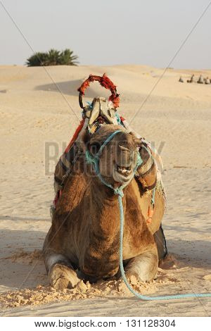 Camel lying the sand in the Sahara desert in the evening