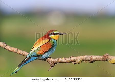 colored bird in all its glory, sun day.bee eater