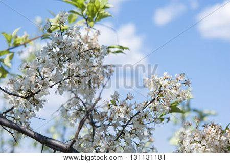 The plum blossom is the flower representing the early spring
