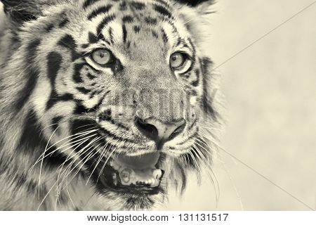Beautiful angry face of Royal Bengal Tiger Panthera Tigris West Bengal India - tinted image . It is largest cat species and endangered only found in Sundarban mangrove forest of India and Bangladesh.