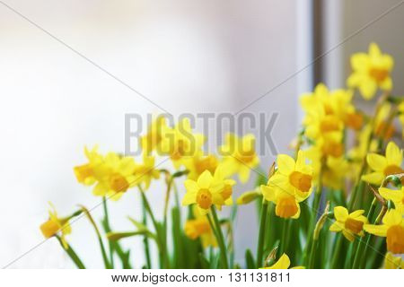 Beautiful narcissus on blurred background