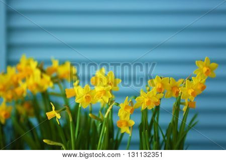 Beautiful narcissus on blue wooden background
