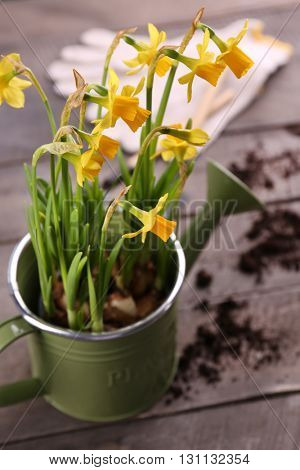 Beautiful narcissus in watering-can on wooden background