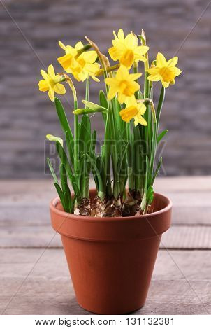 Beautiful narcissus in pot on table