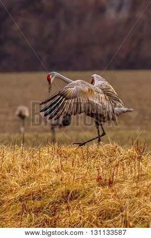 Sandhill Crane courtship dance. Taken in Indiana.