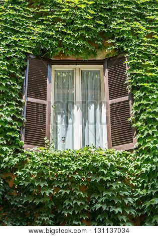 Window with opened shutters in the vine-shrouded wall.
