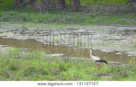 White Stork (Ciconia ciconia) in spring time
