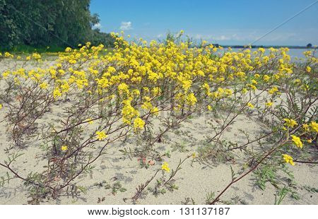 Goldentuft Alyssum flowers in sand soil