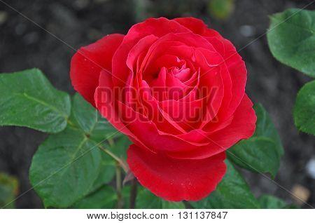 Beautiful single red rose in full bloom