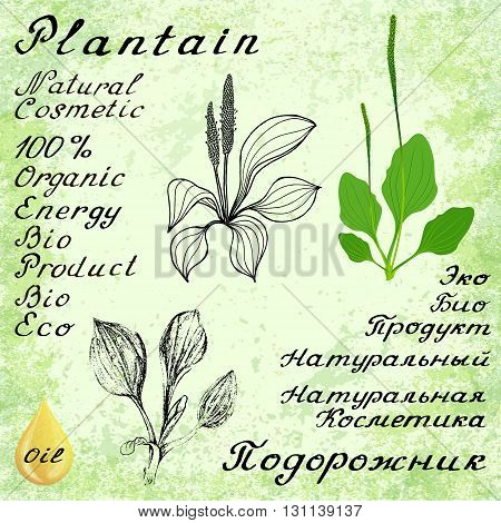 Plantain. Vector set of 3 drawing and hand-lettering. English and Russian texts. Natural cosmetic. Medicinal plant. For print decoration image design label wrapping