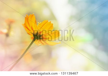 Selective Focus At Petal Fresh Yellow Cosmos On Soft Blurred Pastel Pink And Blue Filter Nature Back