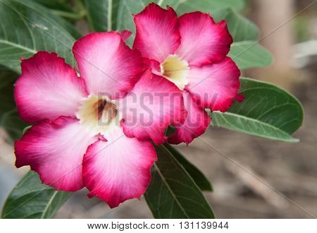 Two pink azalea flowers, beautiful flowers in tropical areas