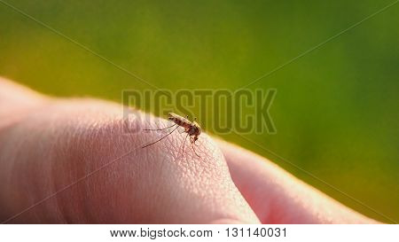 A mosquito sits on the body and drinking the blood. The carrier of the disease.