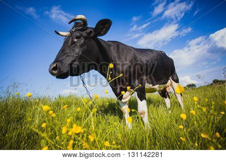 Black and white cow is grazing on the meadow