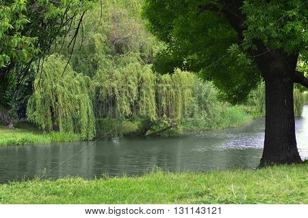 Willow tree bent over the picturesque lake water