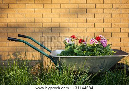 Flowers in wheelbarrow on brick wall background