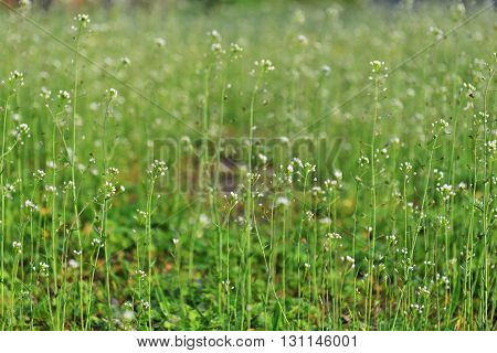 field with flower of blindweed . summer landscape