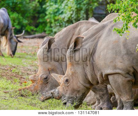 Two white rhinos and a wildebeest feeding