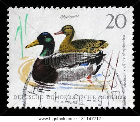 ZAGREB, CROATIA - SEPTEMBER 06: a stamp printed in GDR shows Mallards, Wild Duck, Anas Platyrhynchos, Bird, circa 1968, on September 06, 2014, Zagreb, Croatia