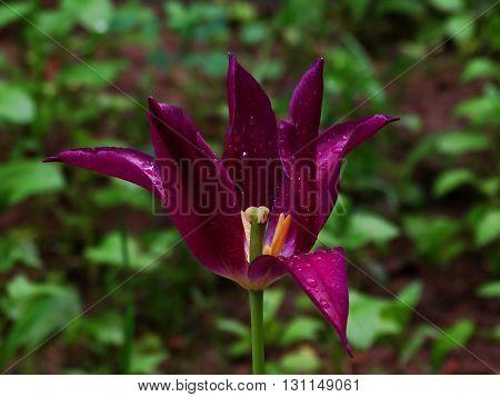 Scarlet tulips in flowerbed spring nature flowers flora floristics botany dew drops rain
