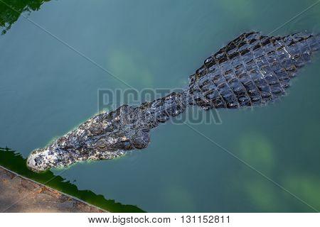 crocodile in the water in crocodile farm, Thailand