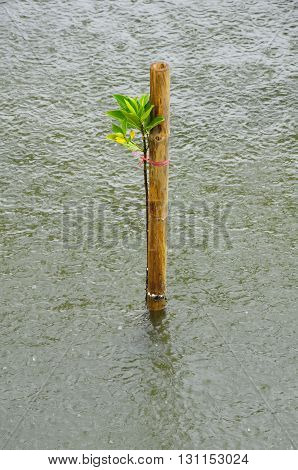 Mangrove seedlings in the rain Planted in the sea Thailand