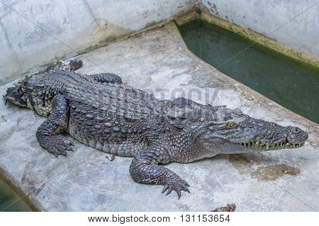 Crocodile on the concrete floor in farm,Thailand